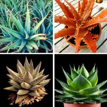 100pcs/bag Aloe vera seeds,Vegetables and fruit seeds  edible beauty Edible cosmetic Bonsai plants Seeds for home & garden