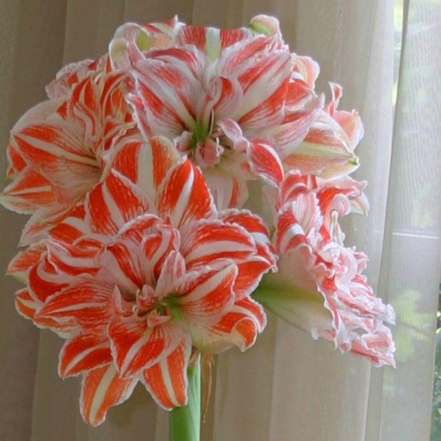 Beautiful Amaryllis Seeds, 100pcs/pack