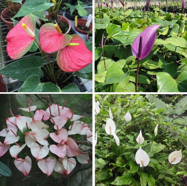 Rare Anthurium Seeds, Anthurium Flower Seeds, 100pcs/pack