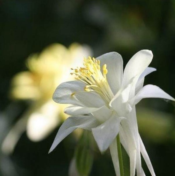 Aquilegia Flower Seeds, Columbine Flowers Seeds, 100pcs/bag