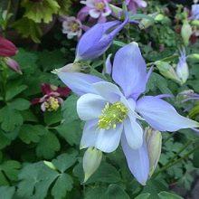 Aquilegia Flower Seeds, Columbine Flowers Seeds, 100pcs/bag