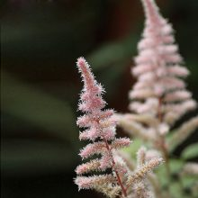 Astilbe Flower Seeds, 100pcs/pack
