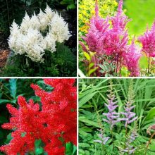 Astilbe Flower Seeds, 100pcs/pack