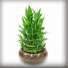 Lucky Bamboo Seeds, 100pcs/pack