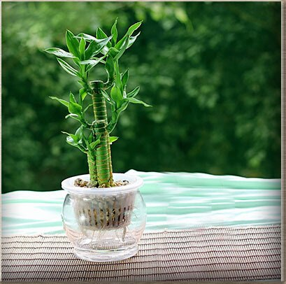 Lucky Moso Bamboo Seeds, 50pcs/pack