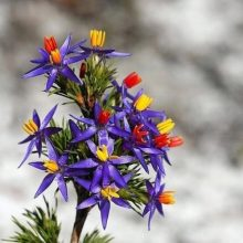 Blue Tinsel Lily Seeds, Calectasia Cyanea, Star of Bethlehem, 20pcs/pack