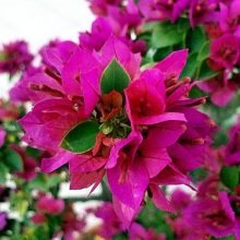Multi-Color Bougainvillea Seeds, 100pcs/pack