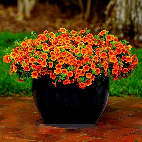 Million Bells Seeds, Calibrachoa Seeds, 100pcs/pack