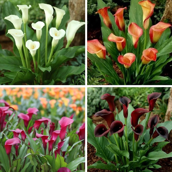 Mixed Color Calla Lily Seeds, 100pcs/pack