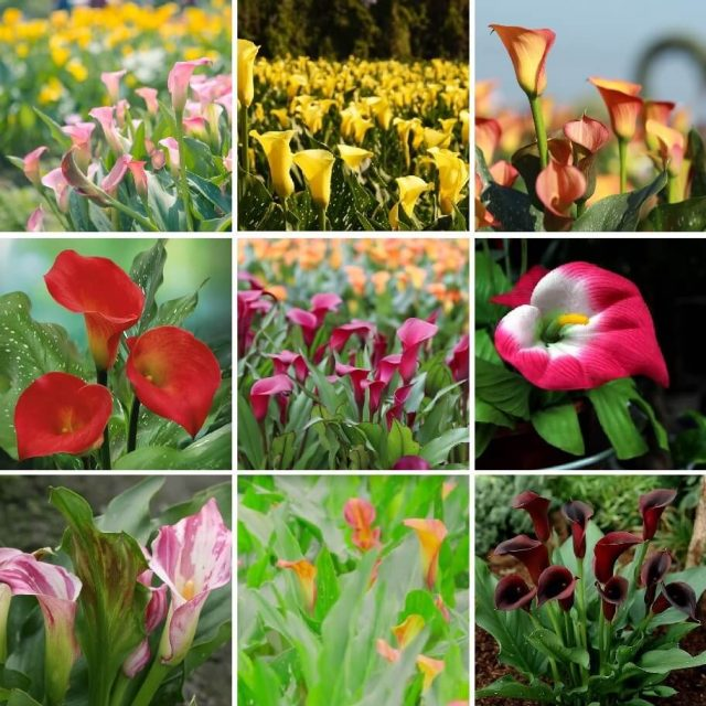 Multi-Color Calla Lily Seeds, 100pcs/pack