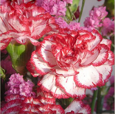 Multi-Color Carnation Seeds, Dianthus Caryophyllus Flower Seeds,200 pcs/pack