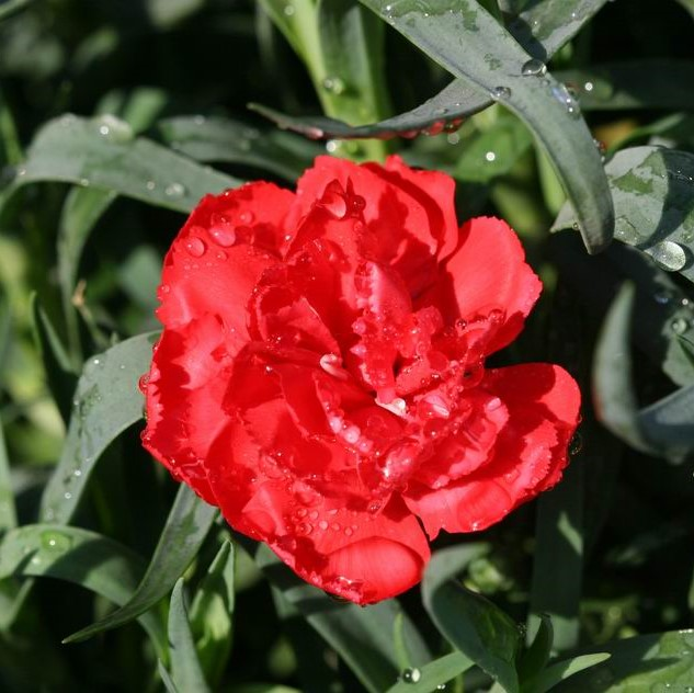 Red Carnation Seeds, Dianthus Caryophyllus Seeds, 200pcs/pack
