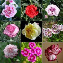 Multi-Color Carnation Seeds, Dianthus Caryophyllus Flower Seeds,200 pcs/pack