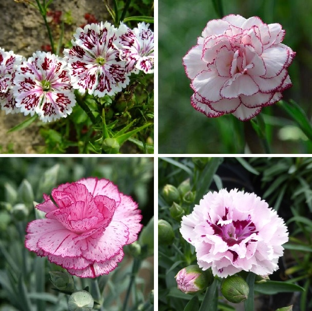 Colorful Carnation Seeds, Dianthus Caryophyllus Seeds, 200pcs/pack