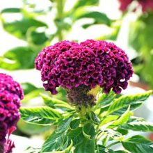 Colorful Cockscomb Flower Seeds, Celosia Spicata Seeds, 100pcs/pack