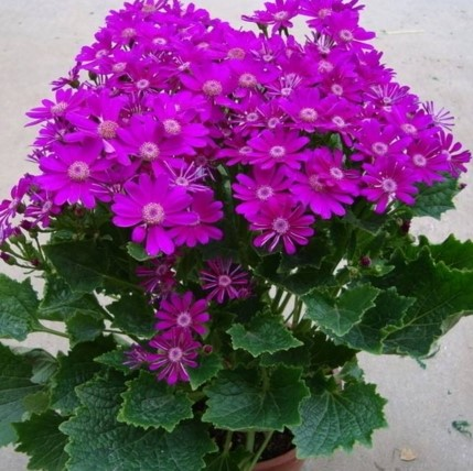 Florists Cineraria Seeds, 200pcs/pack