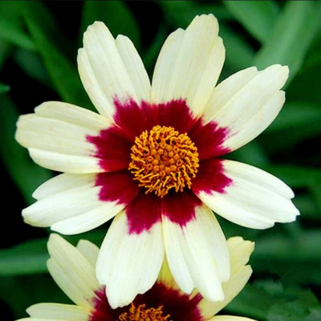 Coreopsis Seeds, 100pcs/pack
