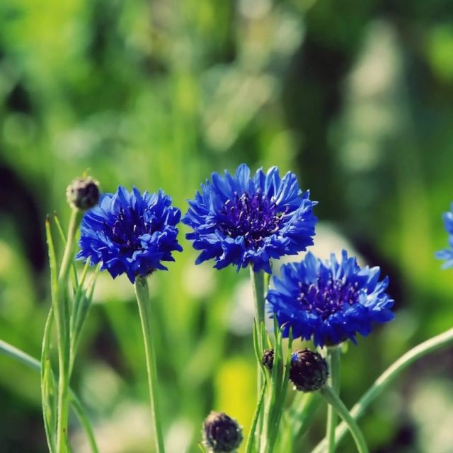 Blue Cornflower Centaurea Cyanus Seeds, 100pcs/pack