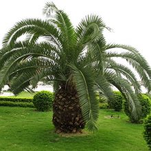 Cycas Plant Seeds, 10pcs/pack