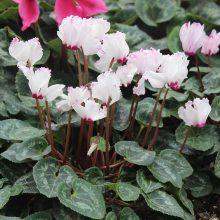 Cyclamen Flower Seeds, 100pcs/pack