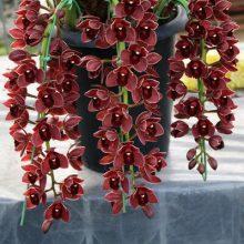 Dark Red Cymbidium Orchid Flower Seeds, 100pcs/pack