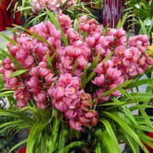 Red Cymbidium Orchid, 100pcs/pack
