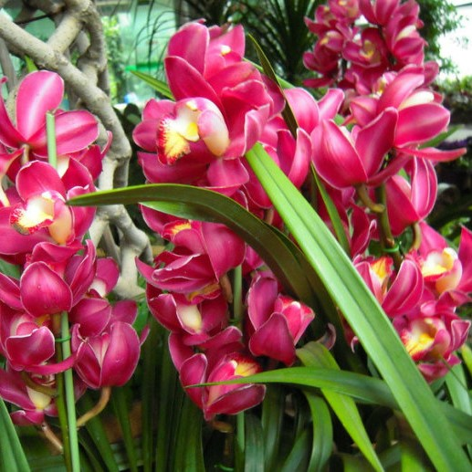 Red Cymbidium Orchid, 100pcs/pack