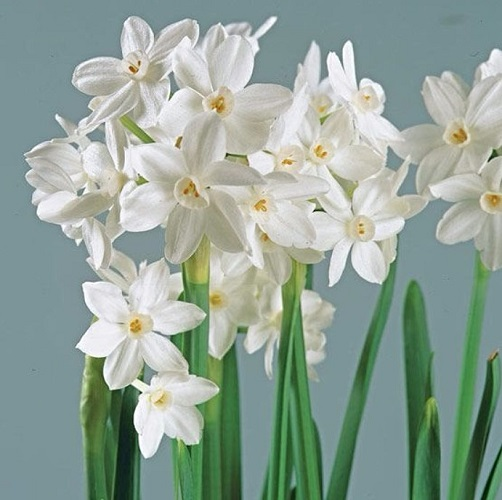 Narcissus Daffodil Seeds, 100pcs/pack