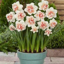 Narcissus Daffodil Seeds, 100pcs/pack