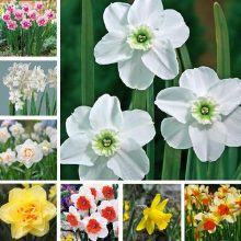 Narcissus Seeds, Daffodil Seeds, 100pcs/pack