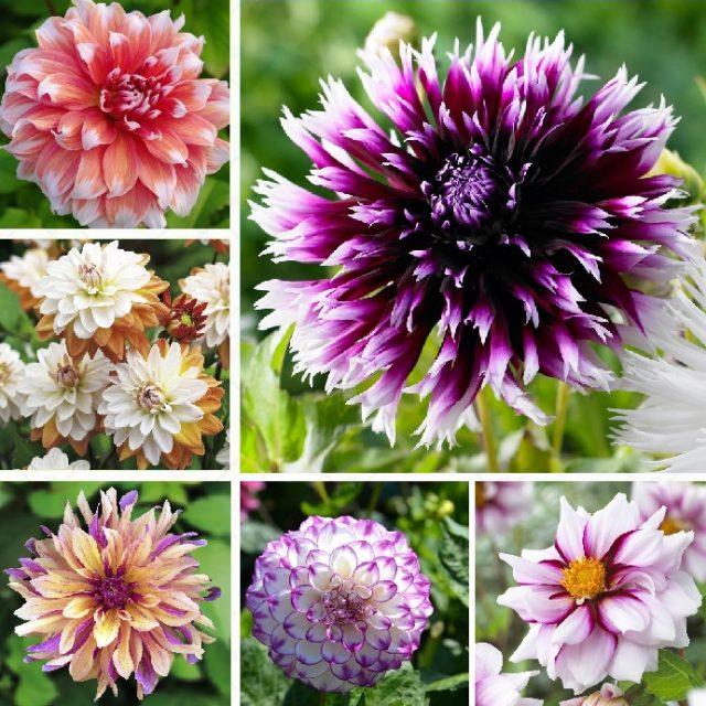 Multi-Colored Beautiful Dahlia Seeds , 100pcs/pack