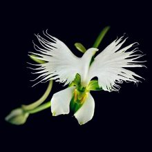 White Egret Orchid Seeds, 100pcs/pack