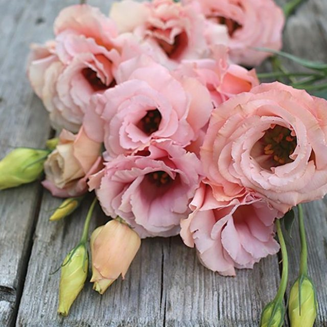 Multi-Color Eustoma Seeds,Lisianthus Seeds, 100pcs/pack