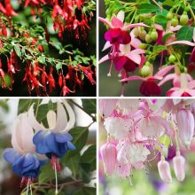 Pink Purple Bell Flowers Fuchsia Seeds Potted Flower Seeds Plants Hanging Fuchsia Flowers 100pcs/pack
