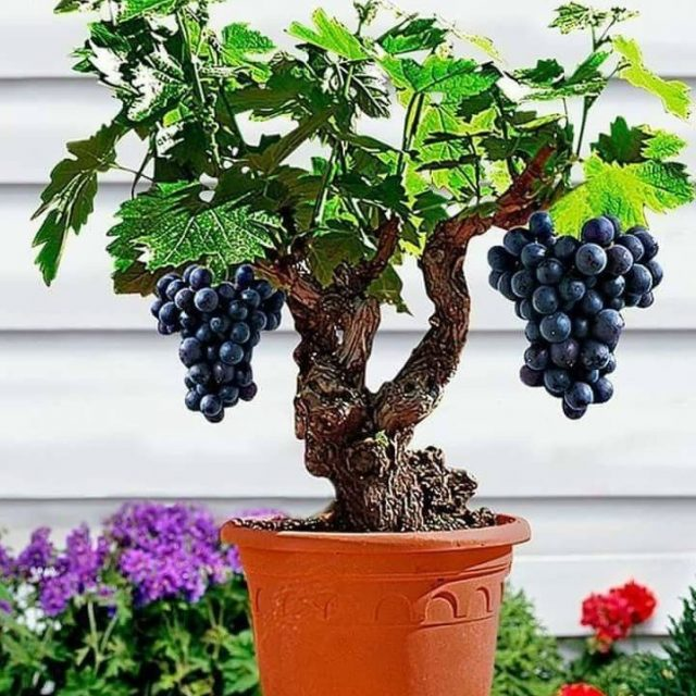Miniature Grape Vine Seeds, PATIO SYRAH, 50 PCS/Bag,
