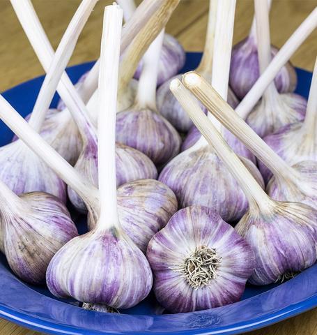 Garlic Seeds, 100pcs/pack