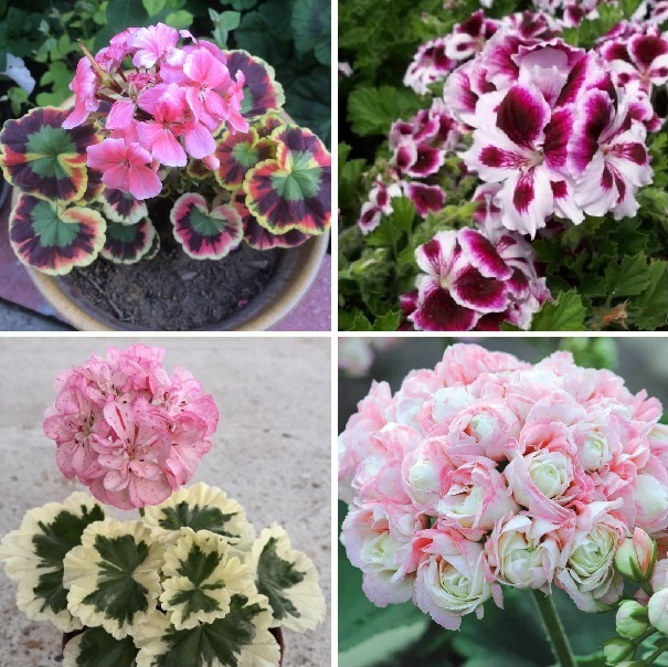 Bonsai Geranium Seeds, Perennial Flower Seeds, Pelargonium Peltatum, 20pcs/pack