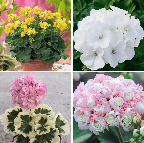 Multi-Varieties Bonsai Geranium Seeds, Perennial Flower Seeds, Pelargonium Peltatum, 20pcs/pack