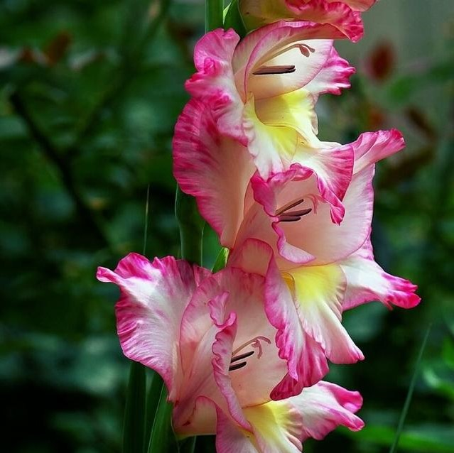 Multi-Colors Gladiolus Seeds Seeds, Perennial Potted Plants, 100pcs/pack