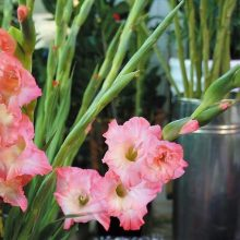 Multi-Varieties Gladiolus Seeds Seeds, Perennial Potted Plants, 100pcs/pack