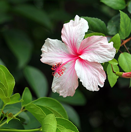16 Varieties Hibiscus Seeds, 100pcs/pack