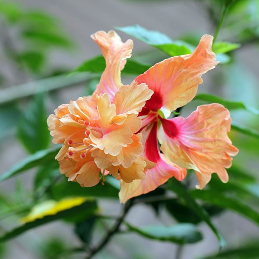 Multi Color Hibiscus Seeds, 100pcs/pack