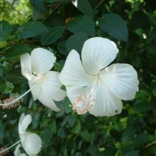 Multi-Varieties Hibiscus Flower Seeds, 100pcs/pack