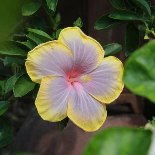 Beautiful Hibiscus Flower Seeds, 100pcs/pack