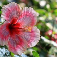 Beautiful Hibiscus Flower Seeds, 100pcs/pack