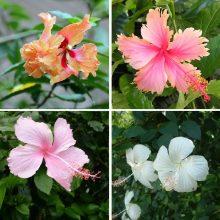 16 Varieties Hibiscus Seeds, 100pcs/pack
