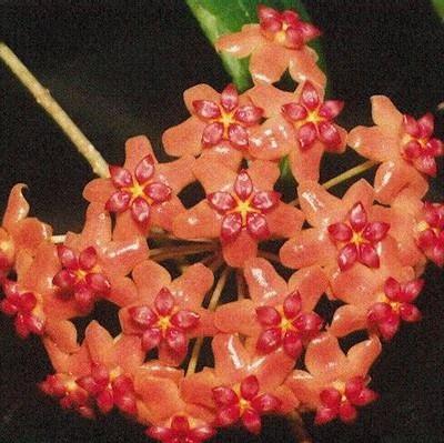 Orchid ball, Hoya Carnosa Seed, 100pcs/pack