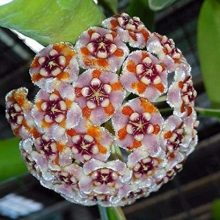 27 Varieties Hoya Carnosa Flower Seed, Orchid Seeds 100 Seed/lot