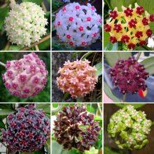 Multi-Varieties Hoya Carnosa Flower Seeds 100pcs/pack