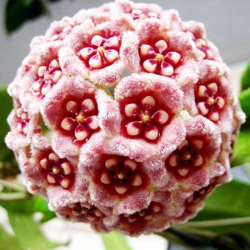 27 Varieties Hoya Carnosa Flower Seed, Orchid Seeds 100 Seed/lot
